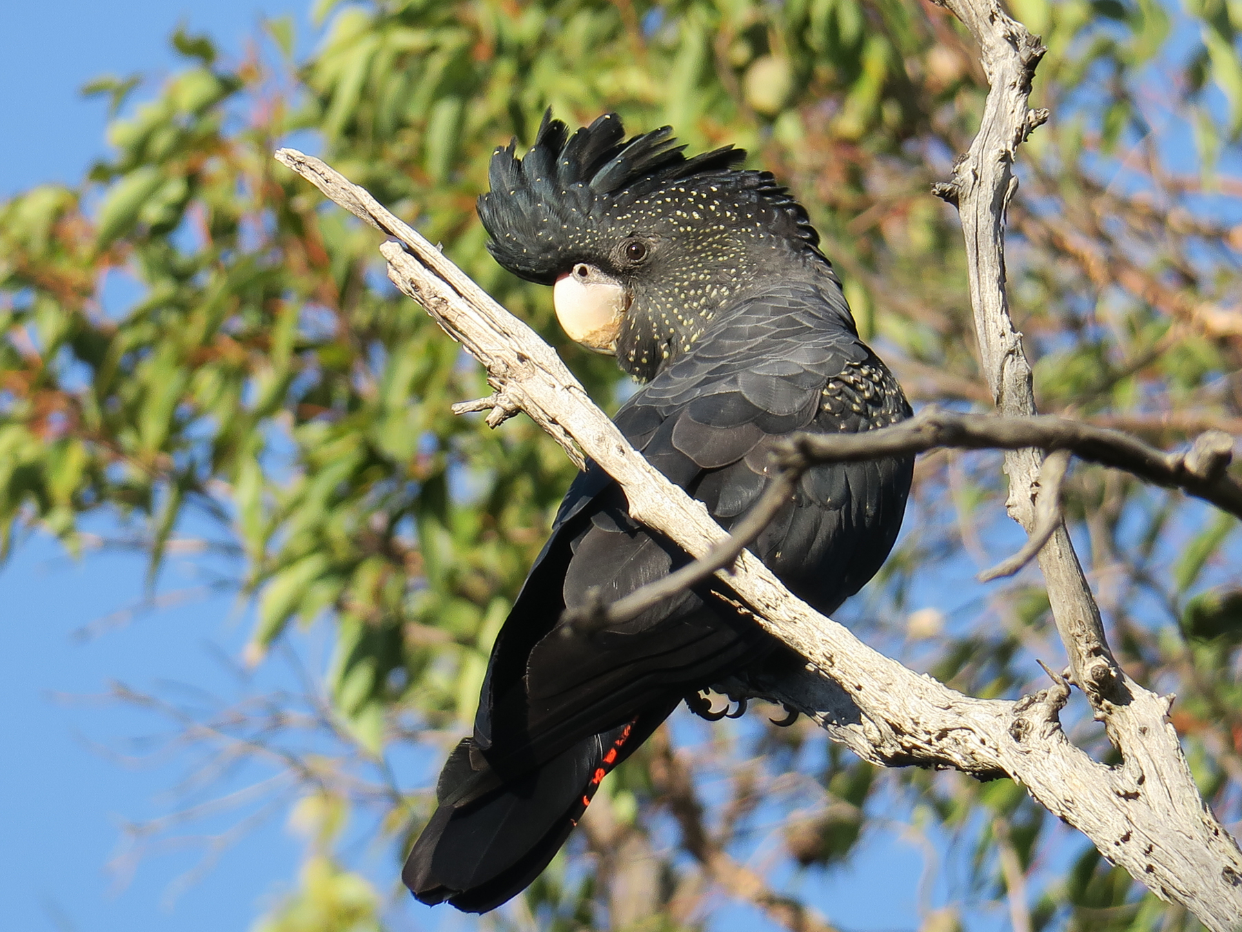 Red-tailed Black-Cockatoo (Image ID 40967)