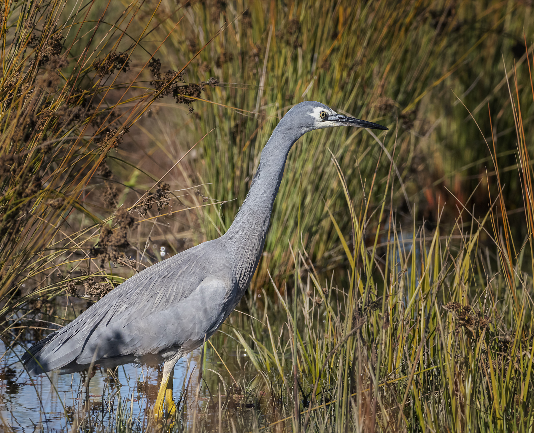 White-faced Heron (Image ID 41003)