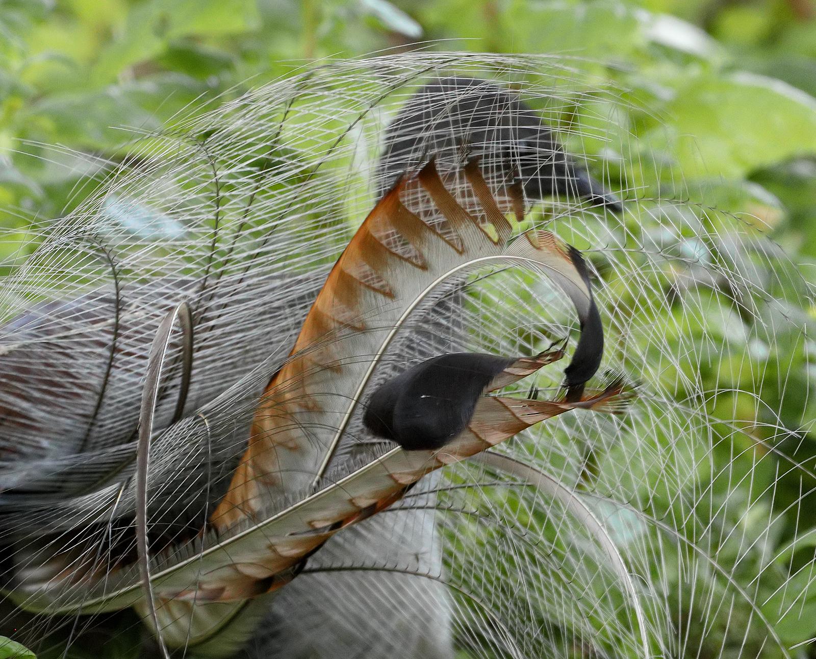 Superb Lyrebird (Image ID 40759)