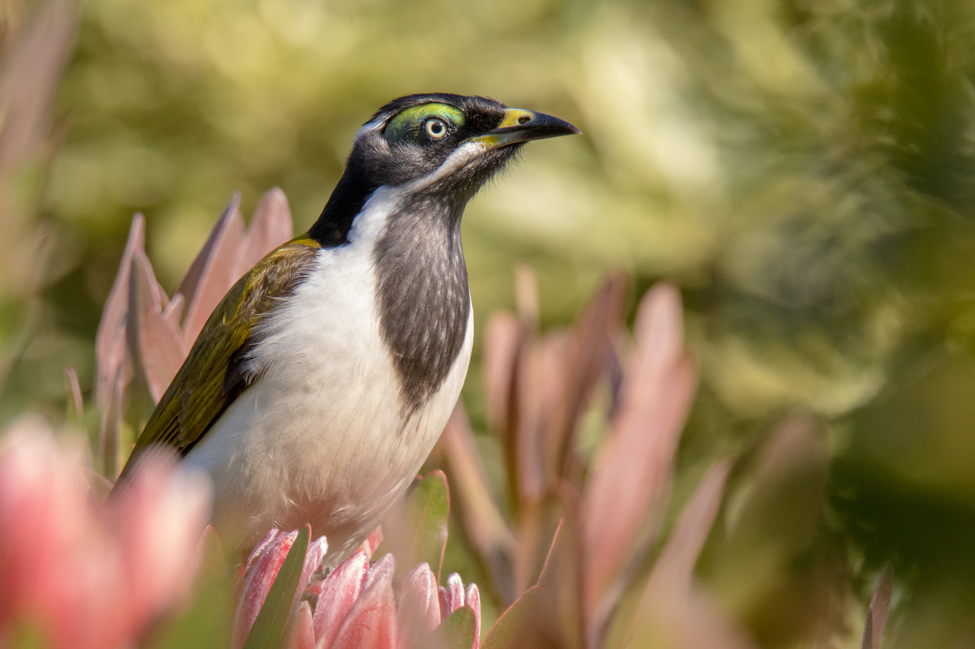 Blue-faced Honeyeater (Image ID 40763)