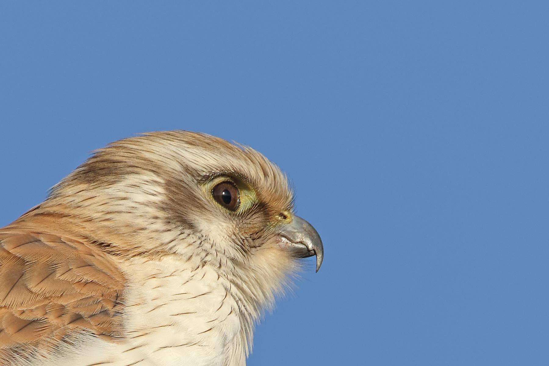 Brown Falcon (Image ID 40973)