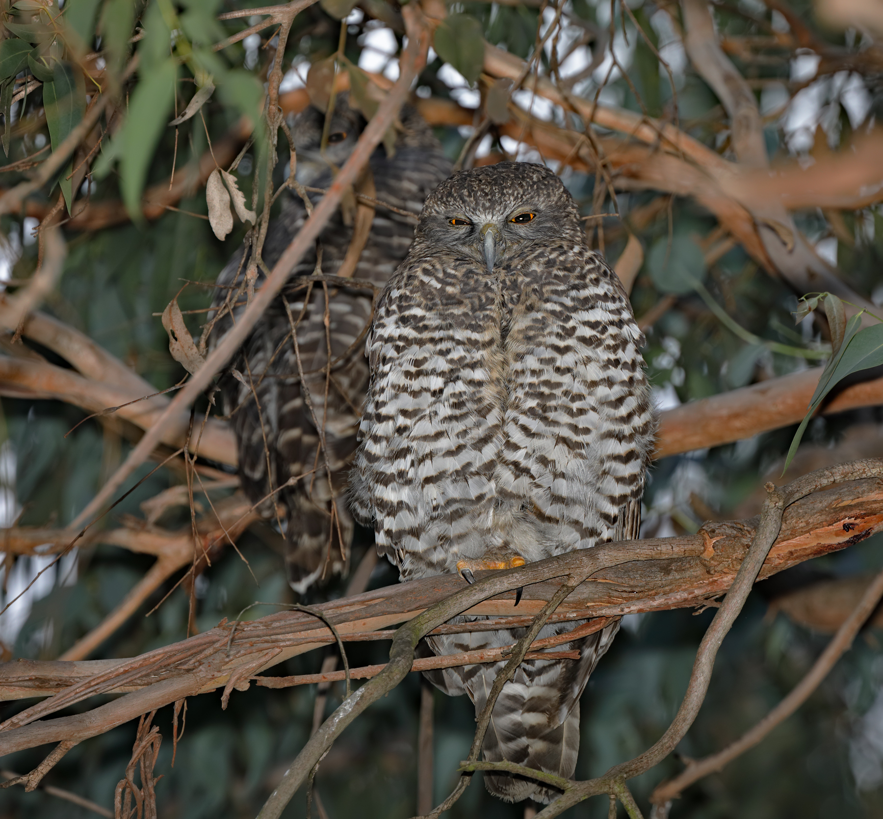 Powerful Owl (Image ID 40687)