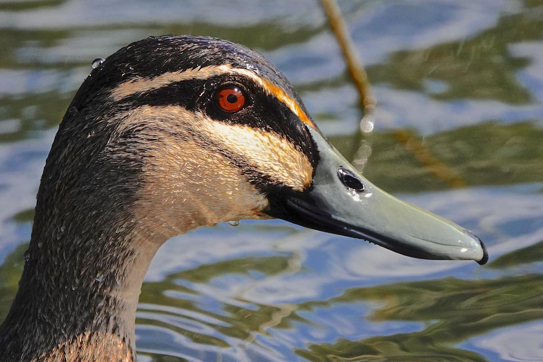 Pacific Black Duck (Image ID 40942)