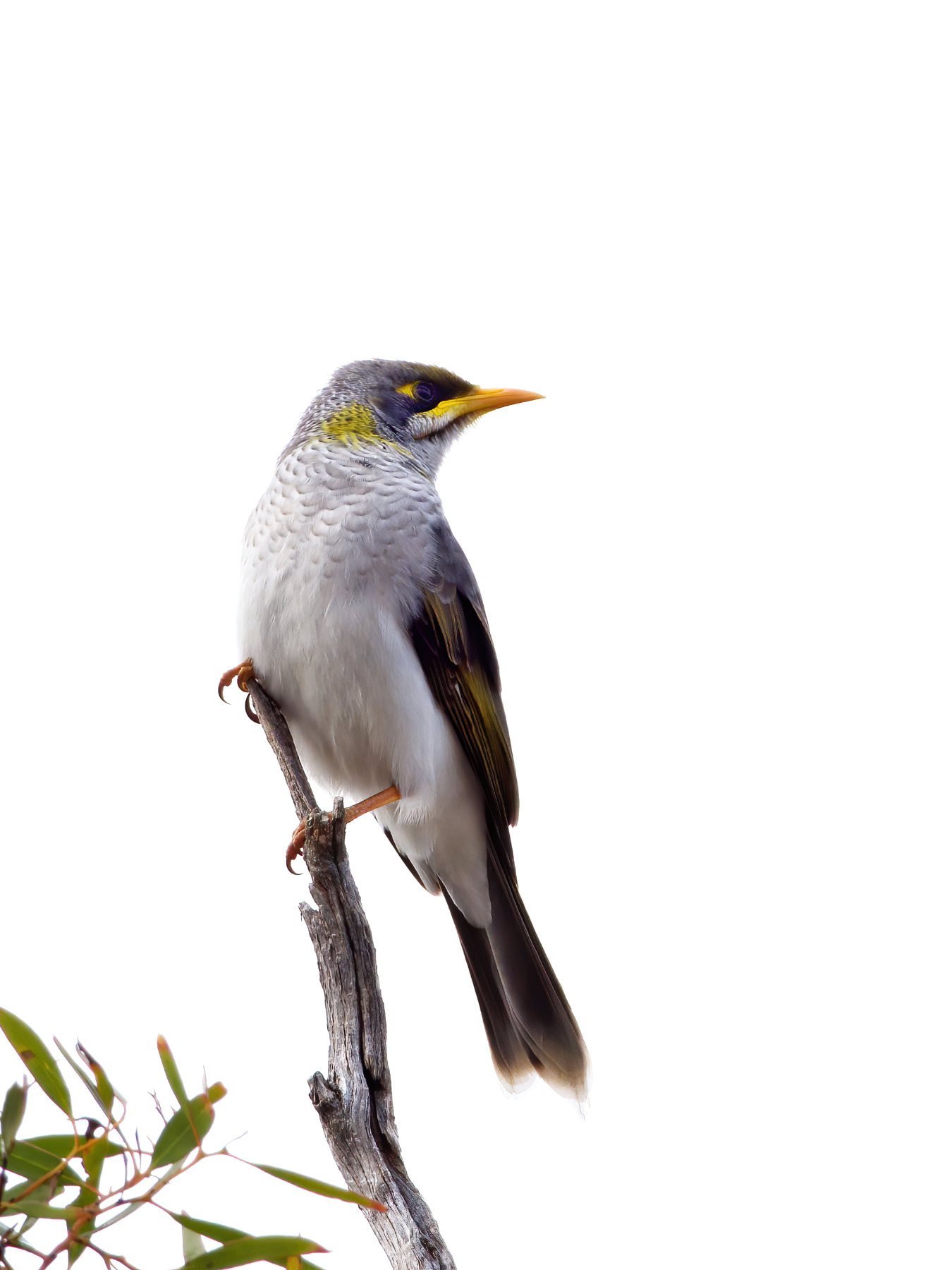 Yellow-throated Miner (Image ID 40851)