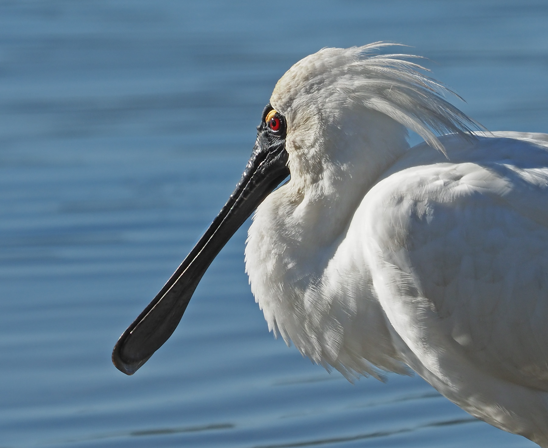 Royal Spoonbill (Image ID 40987)
