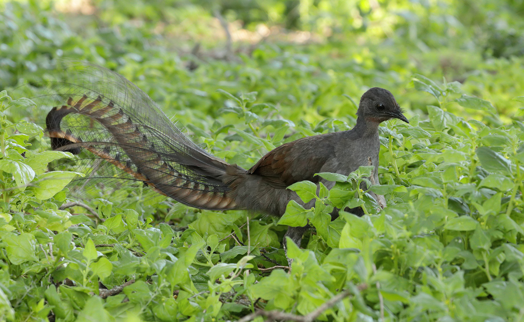 Superb Lyrebird (Image ID 40761)