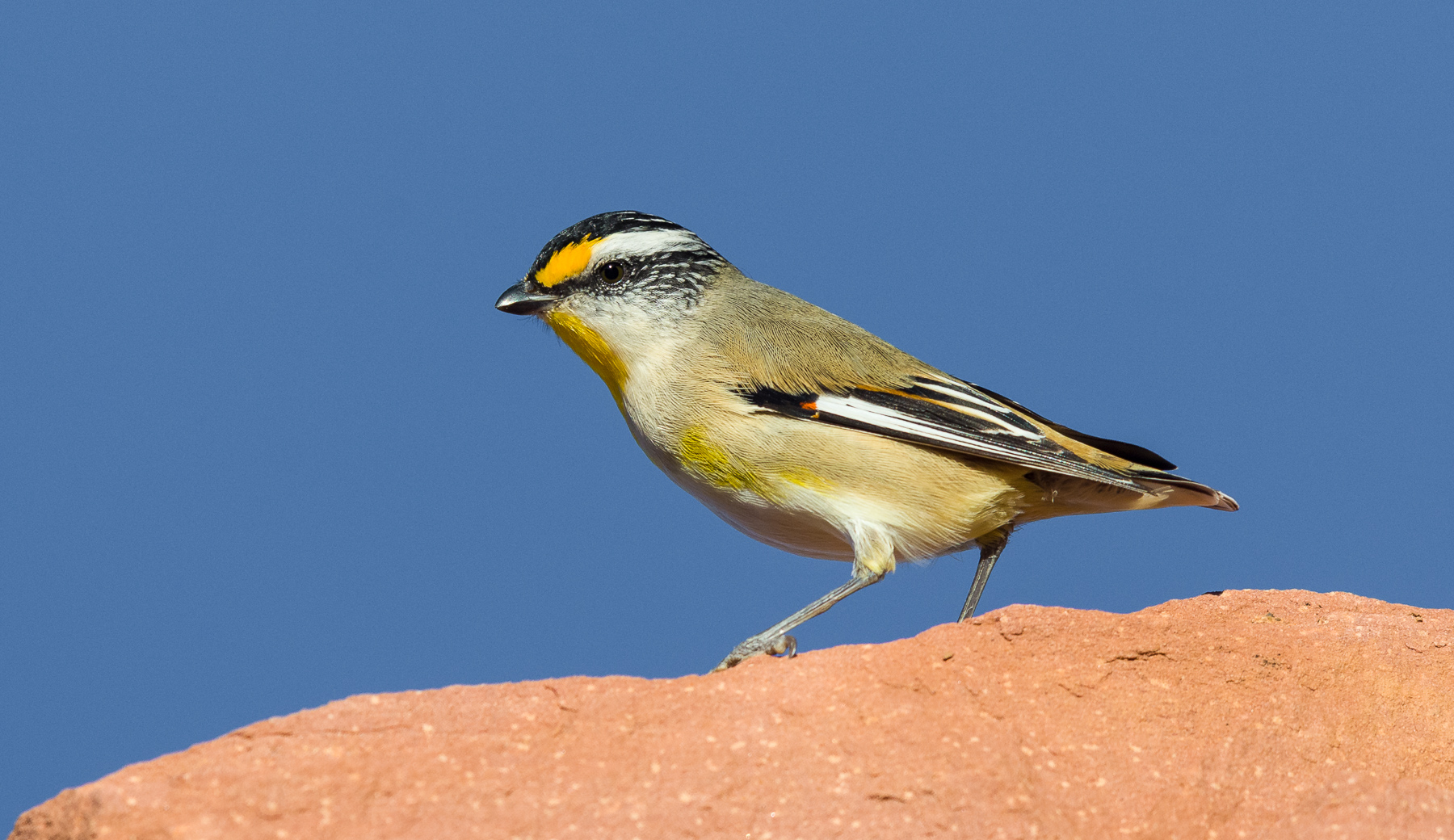 Striated Pardalote (Image ID 40764)