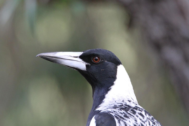 Australian Magpie (Image ID 41025)