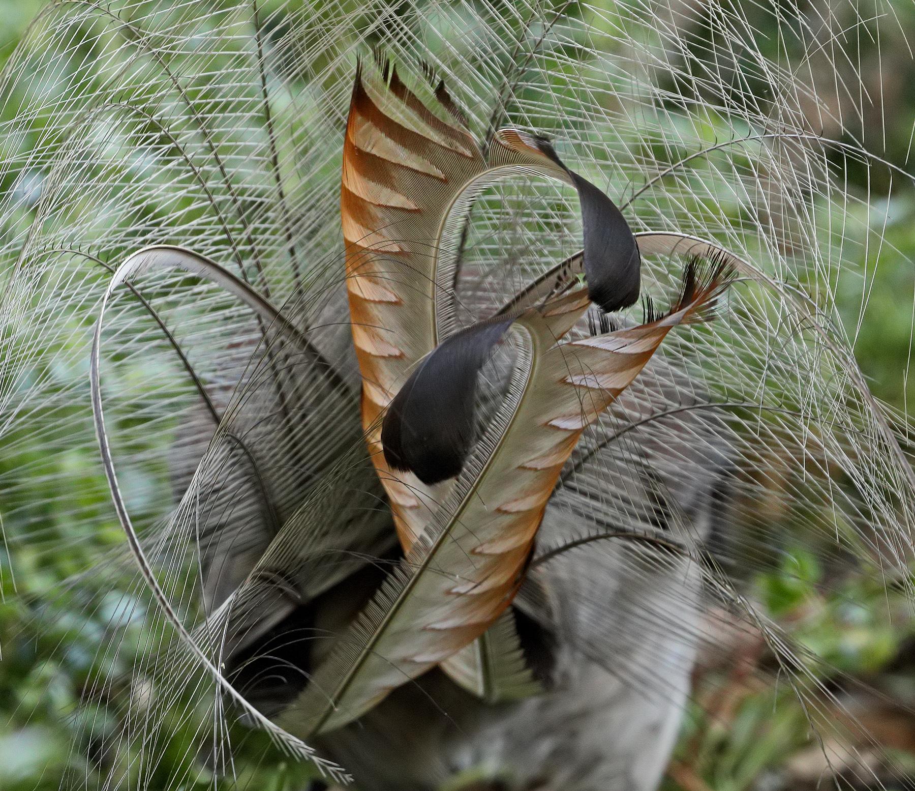 Superb Lyrebird (Image ID 40760)