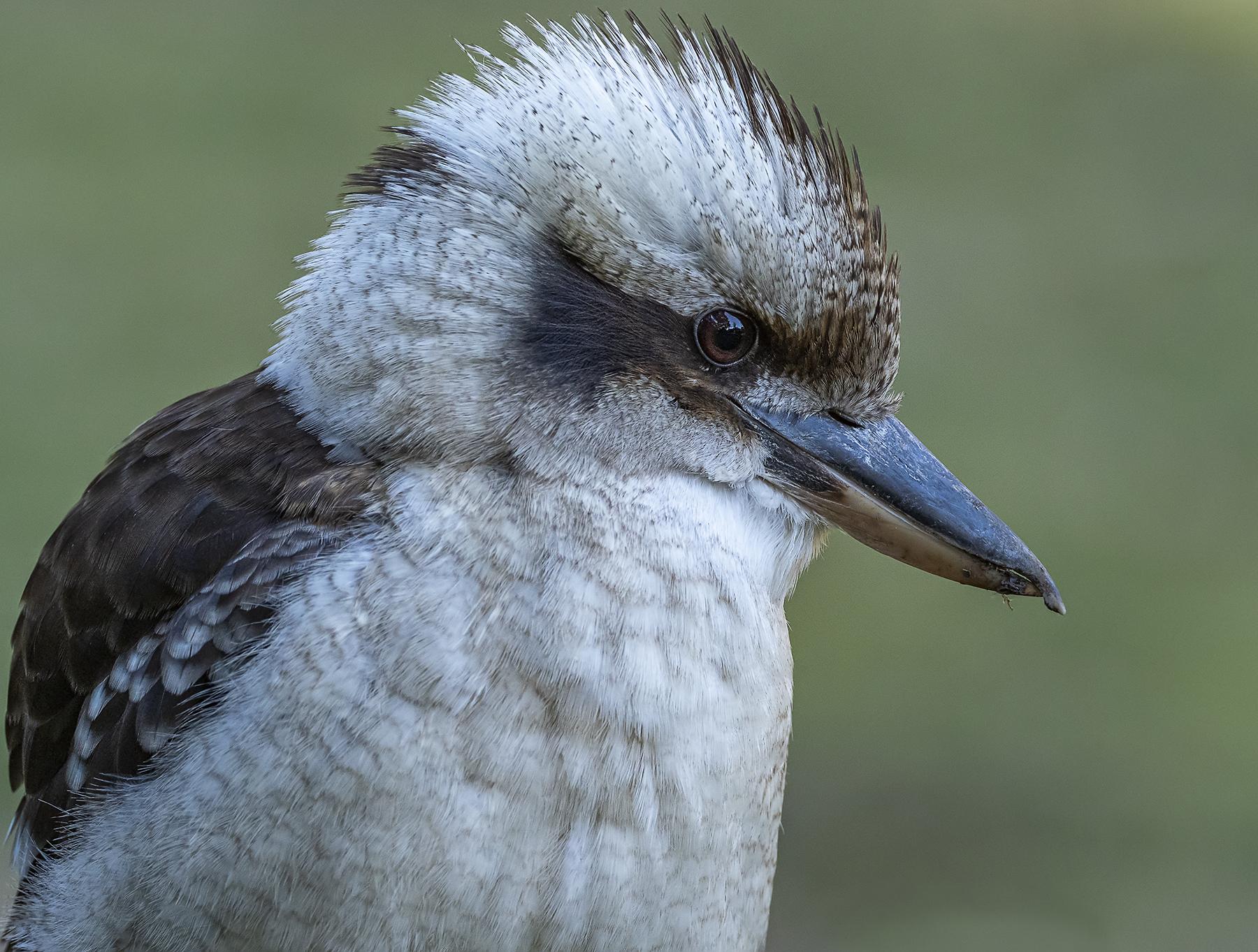 Laughing Kookaburra (Image ID 40974)
