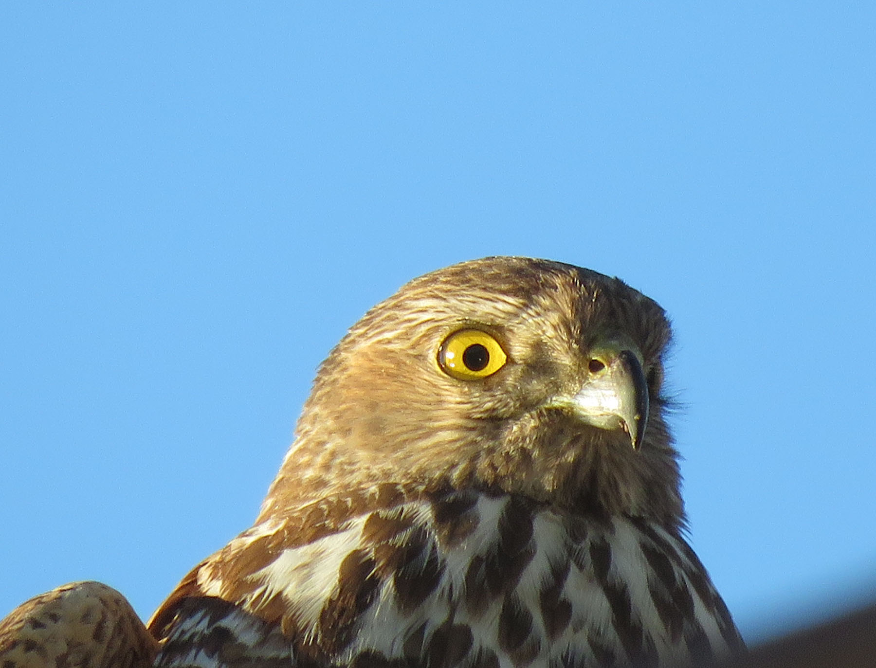 Collared Sparrowhawk (Image ID 40919)