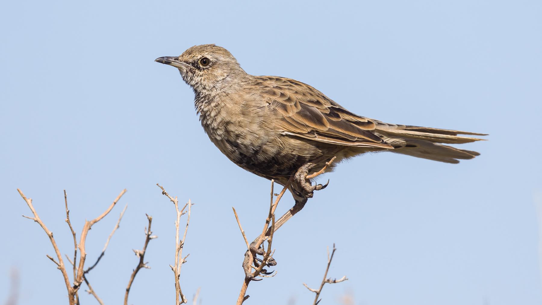 Brown Songlark (Image ID 40826)