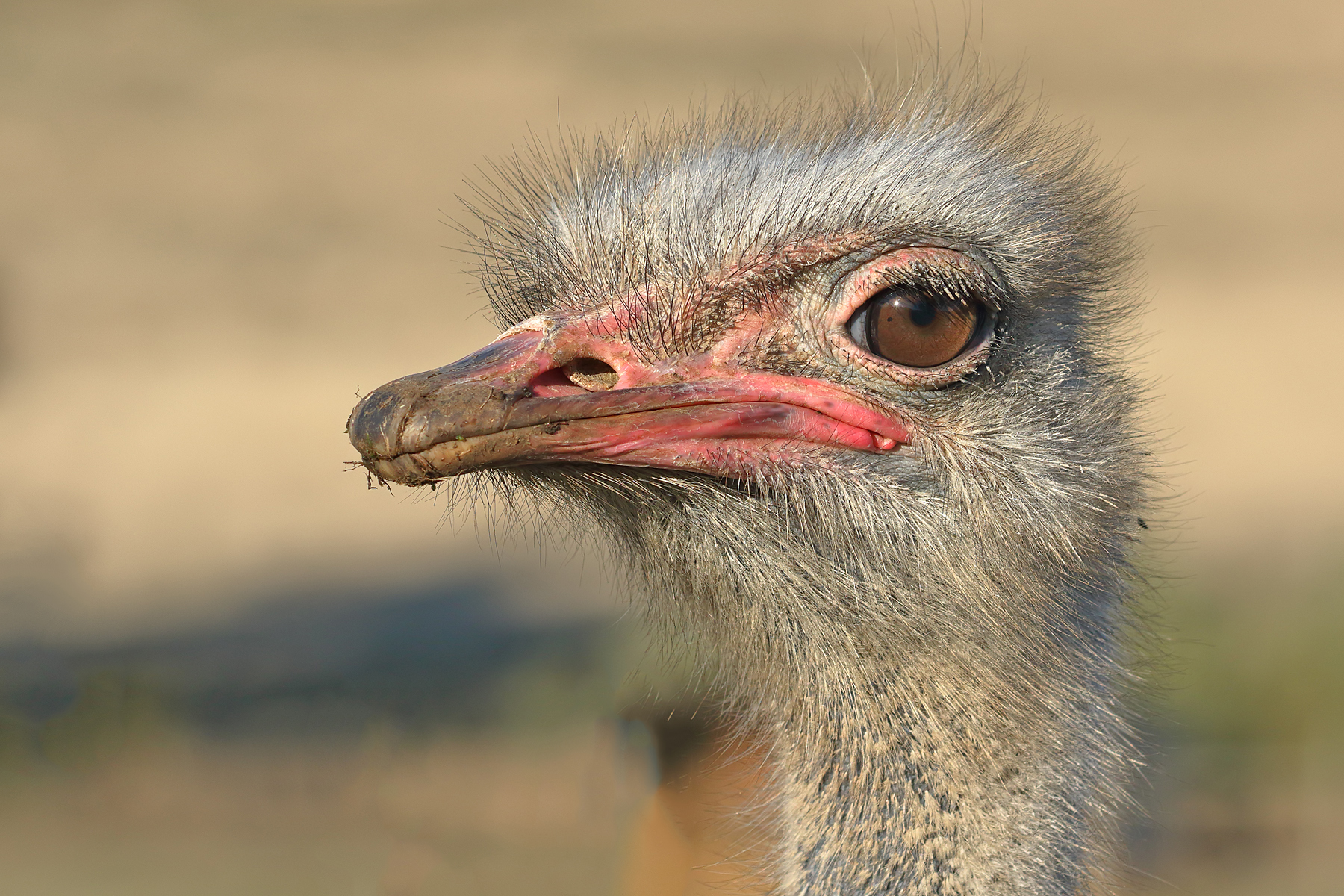 Ostrich (Image ID 40984)