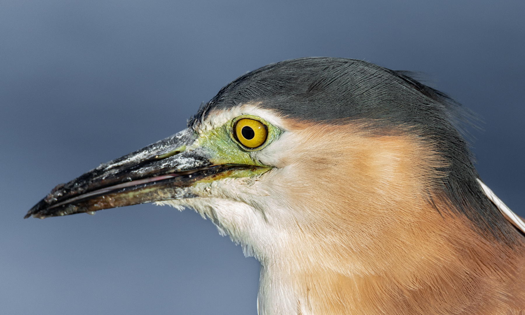 Nankeen Night-Heron (Image ID 41078)