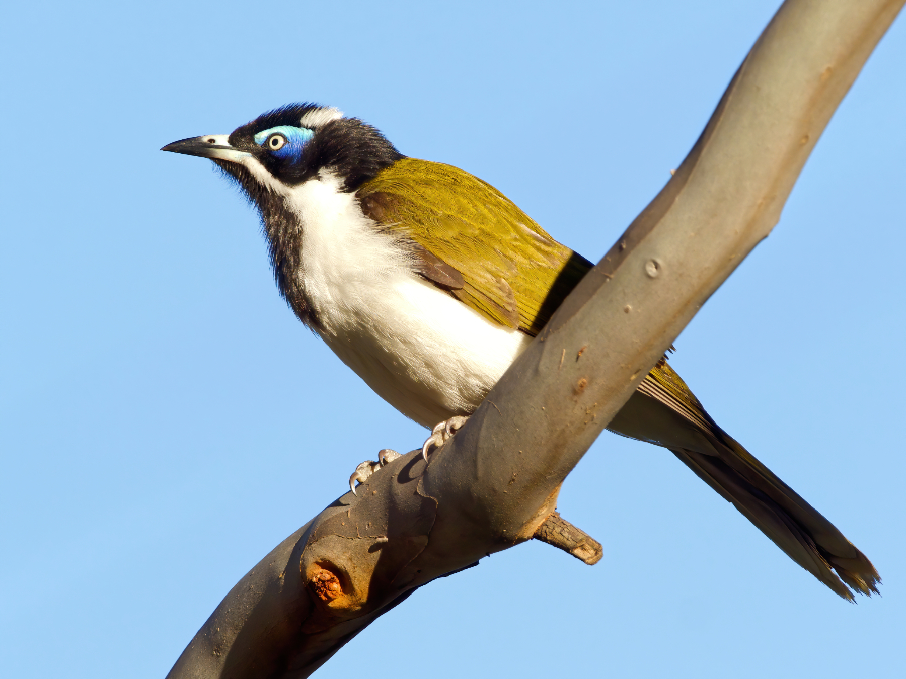 Blue-faced Honeyeater (Image ID 40731)