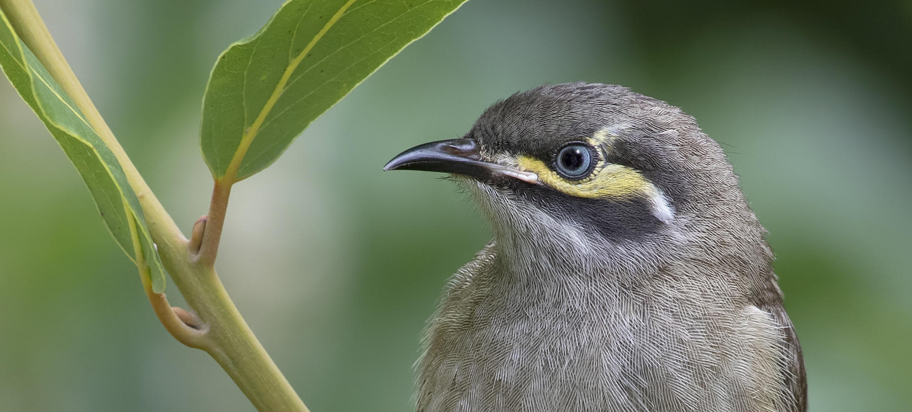 Yellow-faced Honeyeater (Image ID 40840)