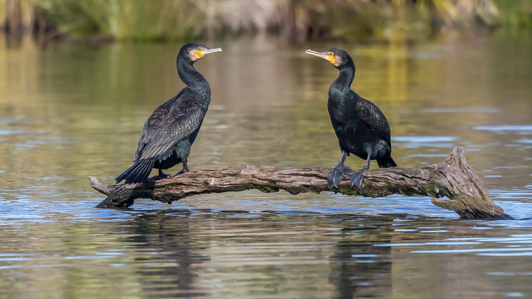 Great Cormorant (Image ID 40753)