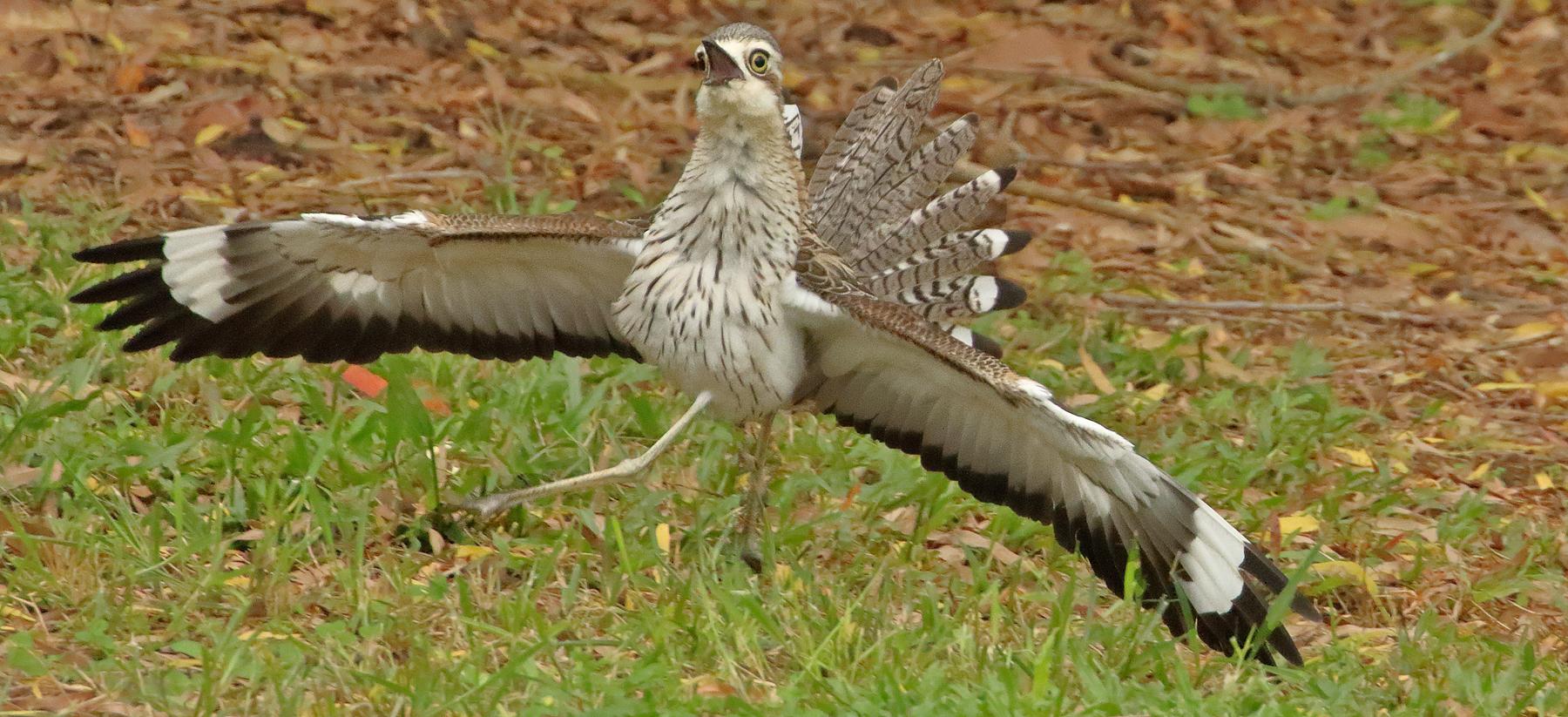 Bush Stone-curlew (Image ID 41061)
