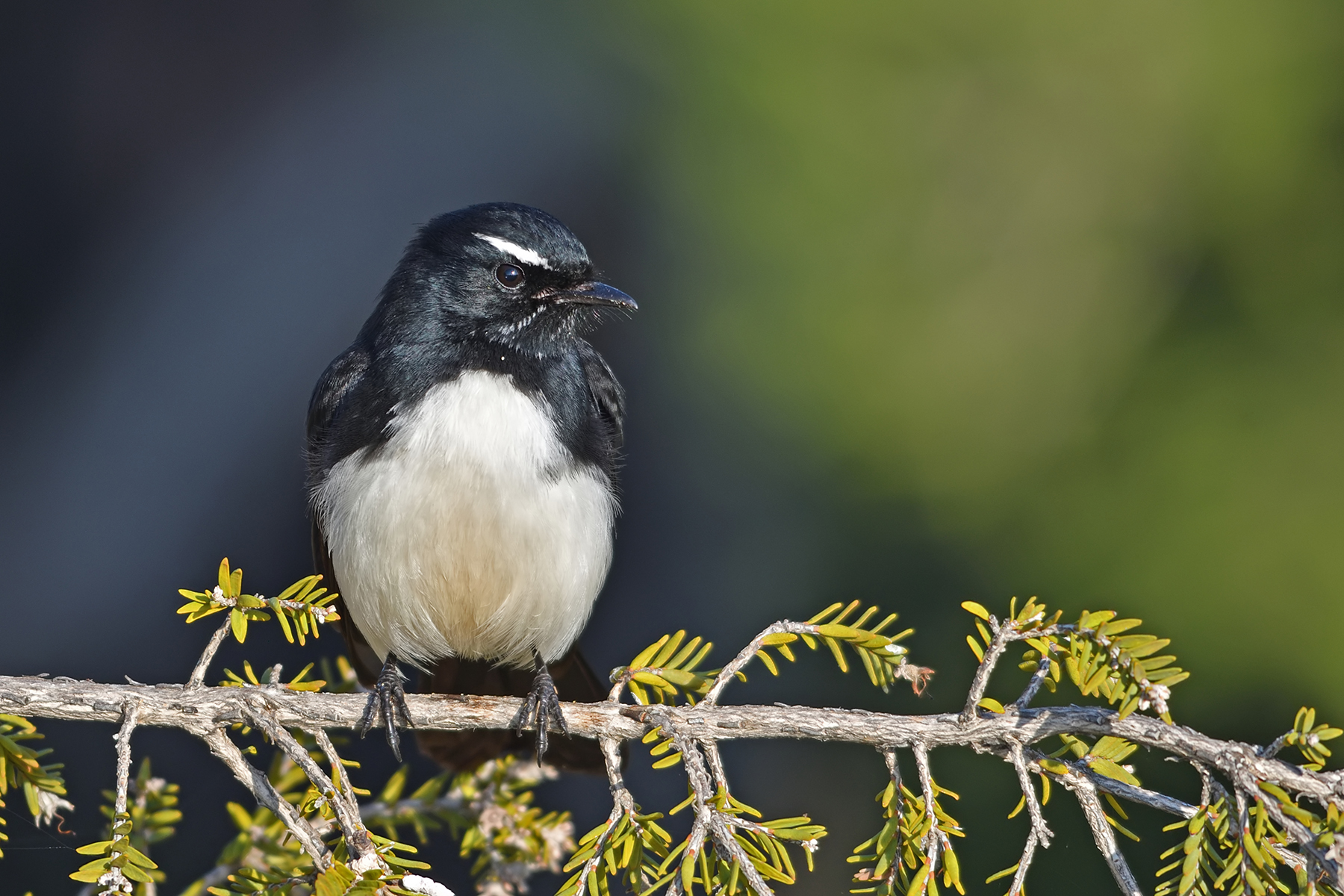 Willie Wagtail (Image ID 40876)