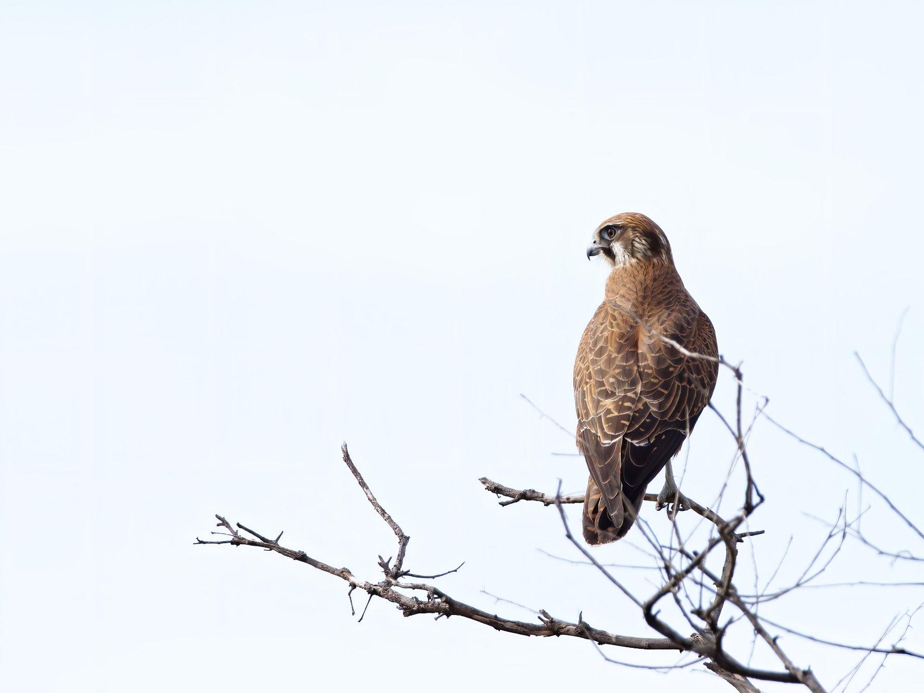 Brown Falcon (Image ID 41271)