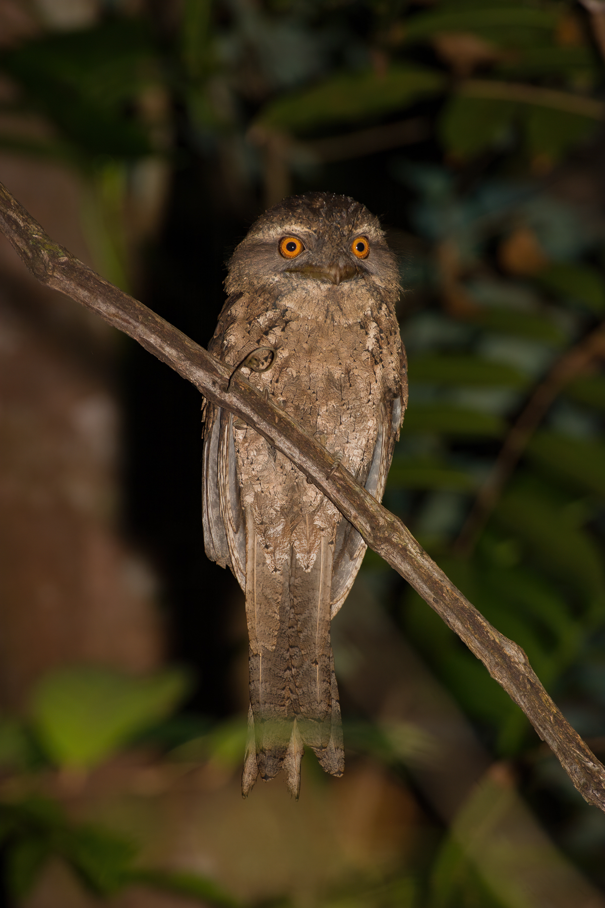 Marbled Frogmouth (Image ID 41174)