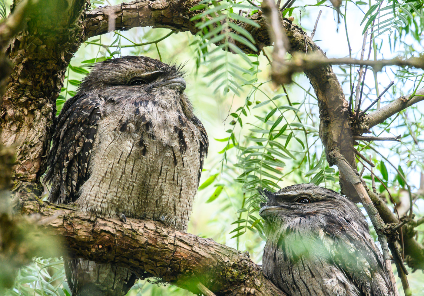 Tawny Frogmouth (Image ID 41083)