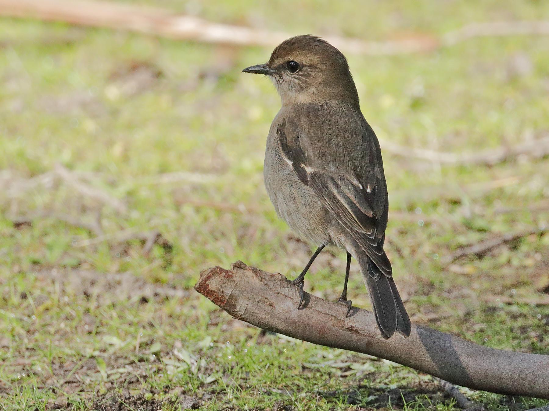Dusky Robin (Image ID 41390)