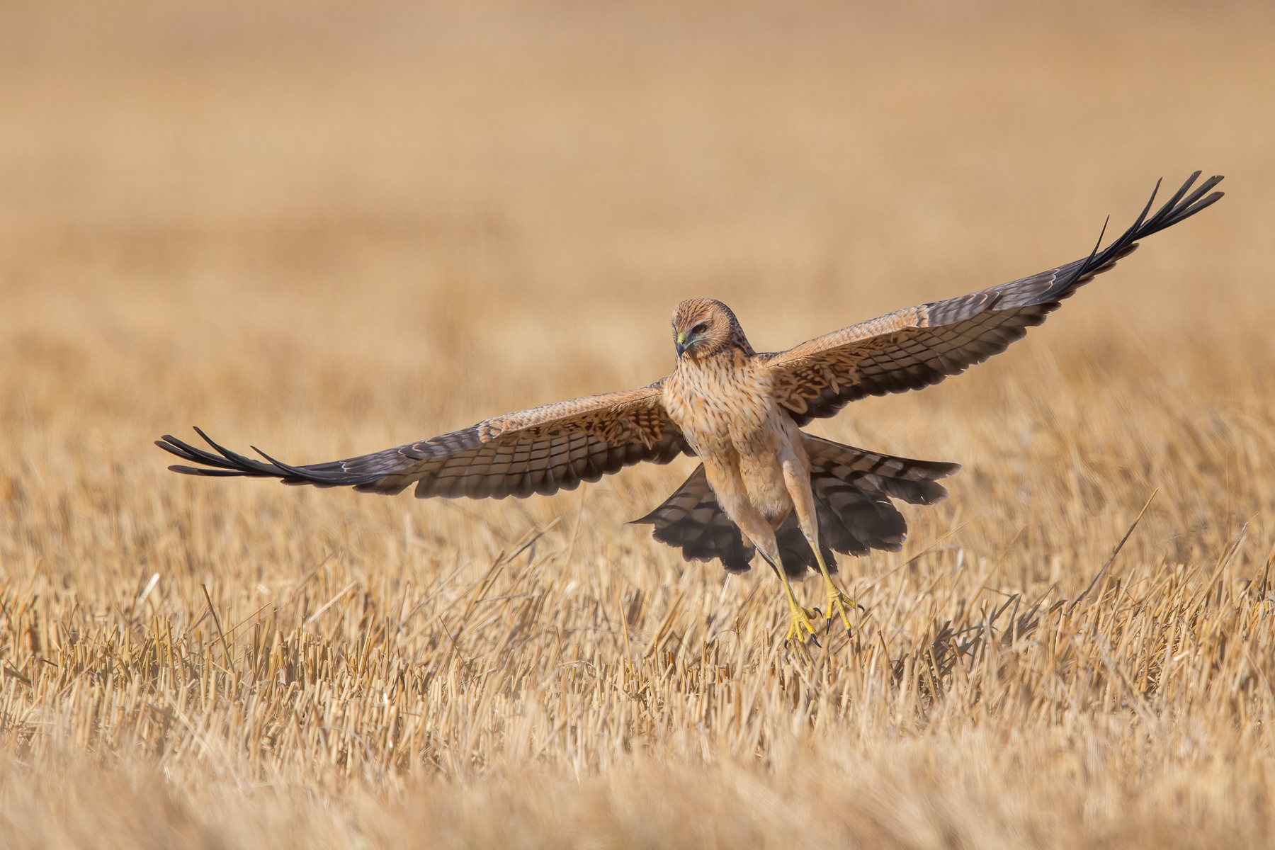 Spotted Harrier (Image ID 41552)