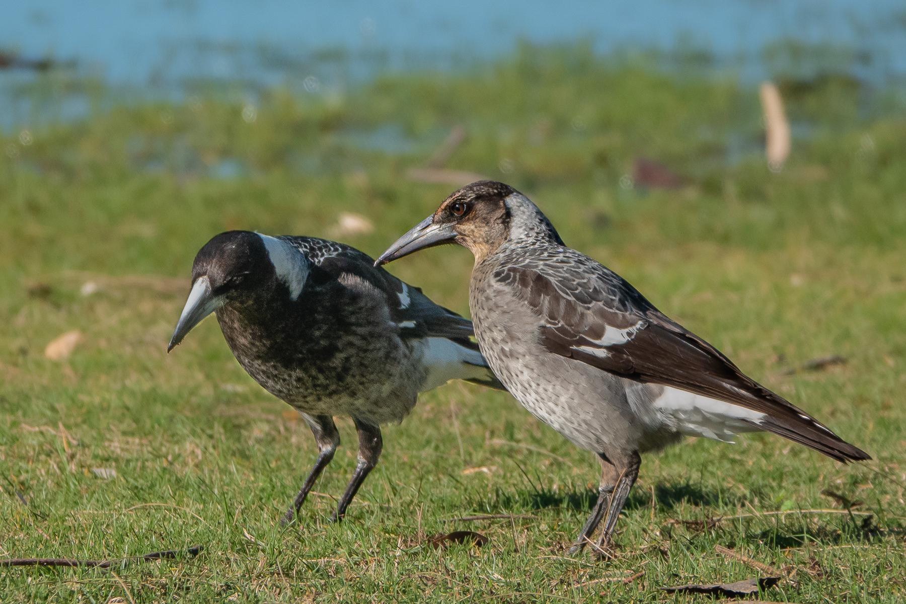 Australian Magpie (Image ID 41214)