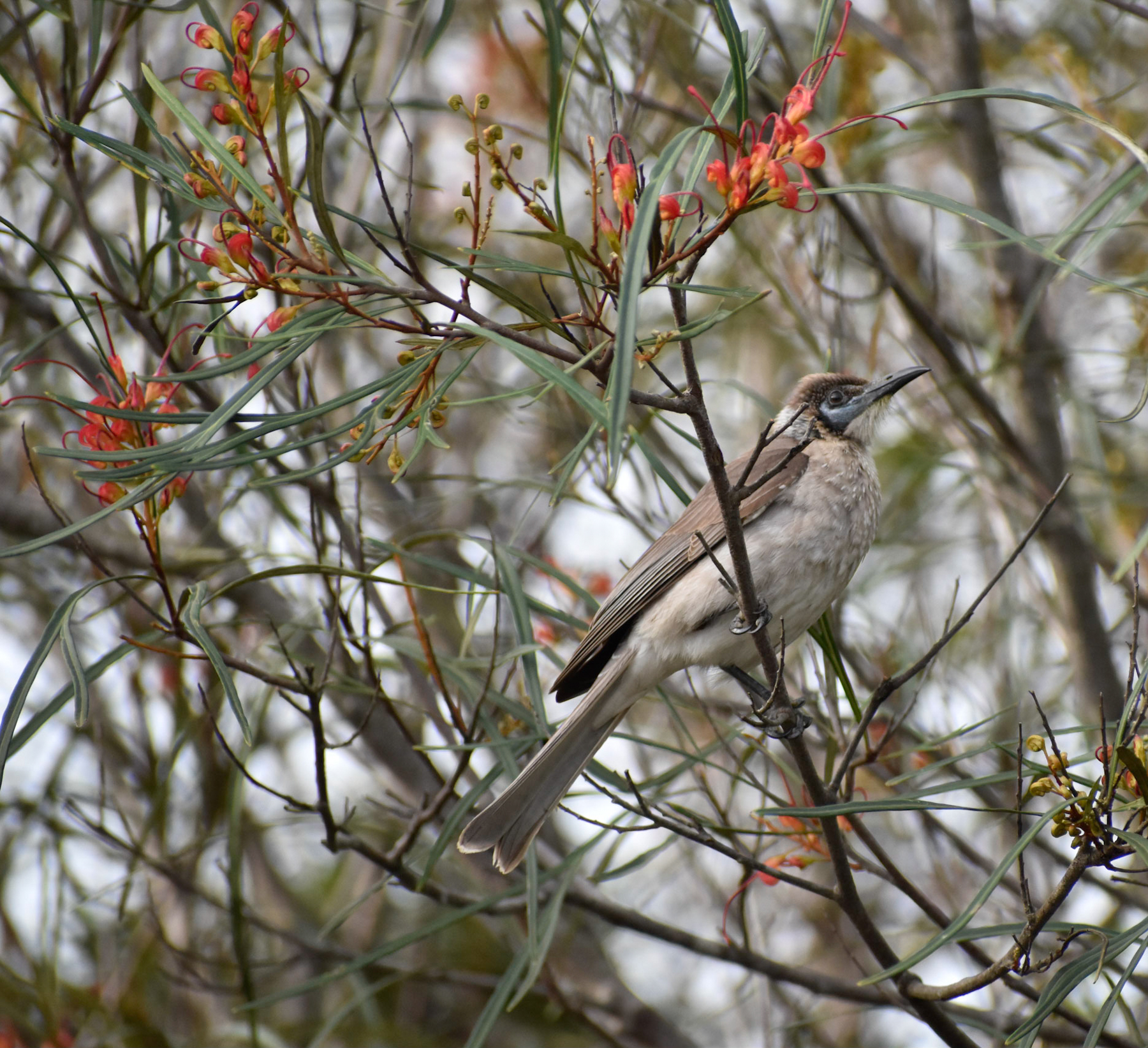 Little Friarbird (Image ID 41479)