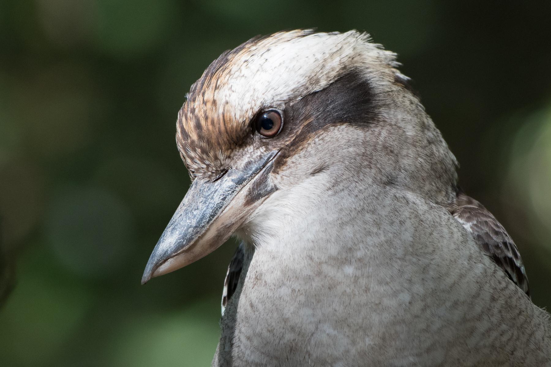 Laughing Kookaburra (Image ID 41385)