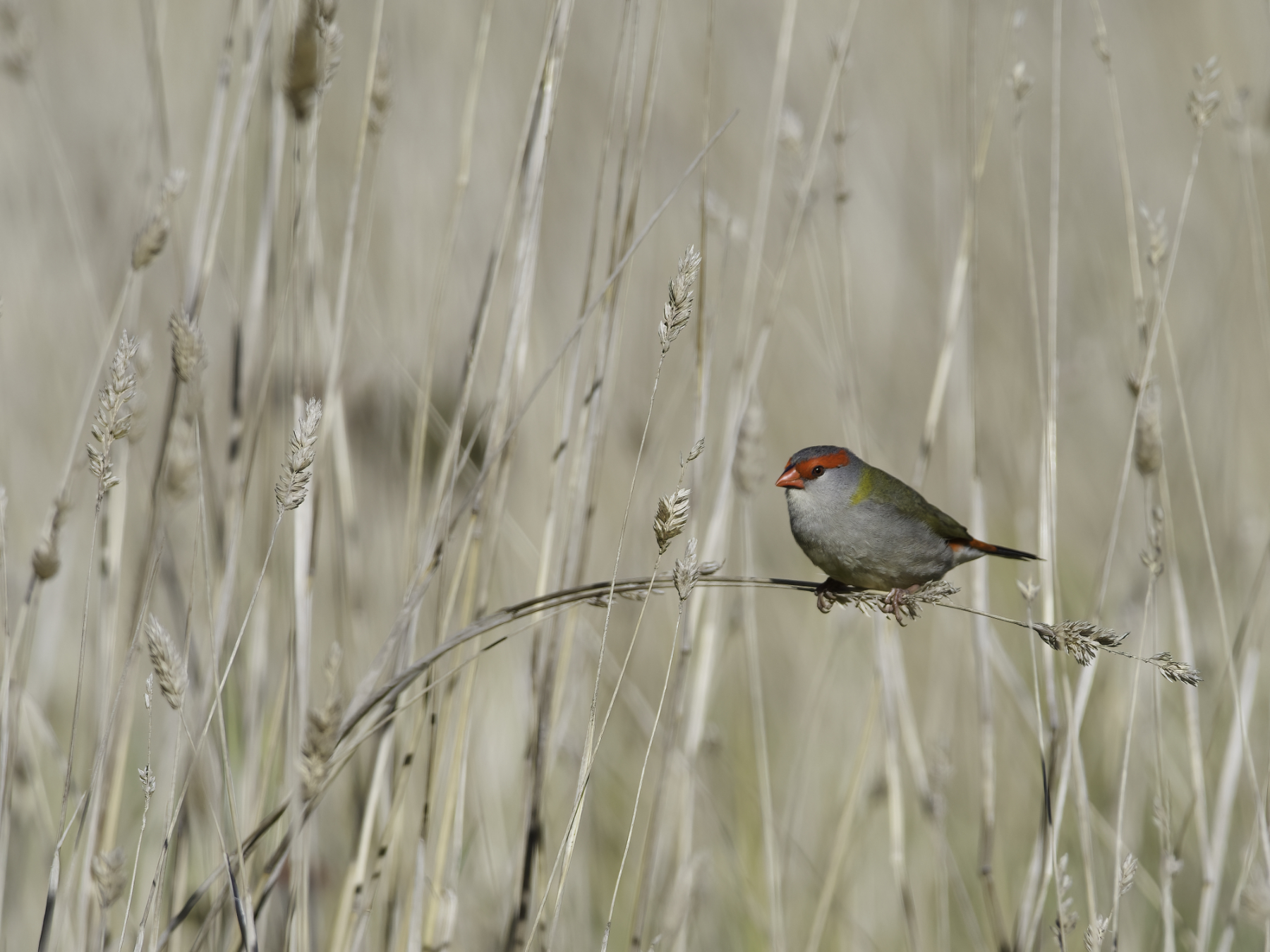 Red-browed Finch (Image ID 41443)