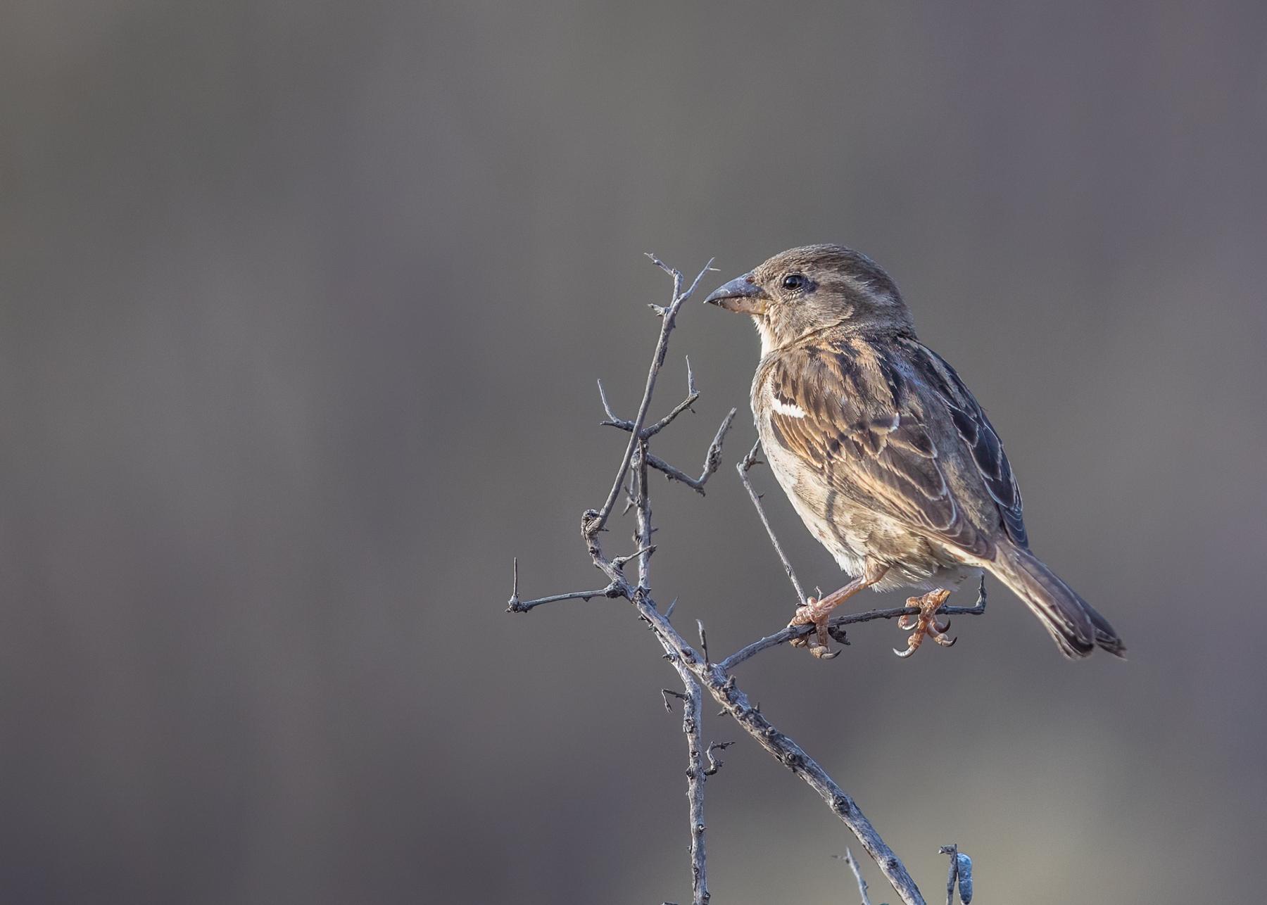 House Sparrow (Image ID 41466)