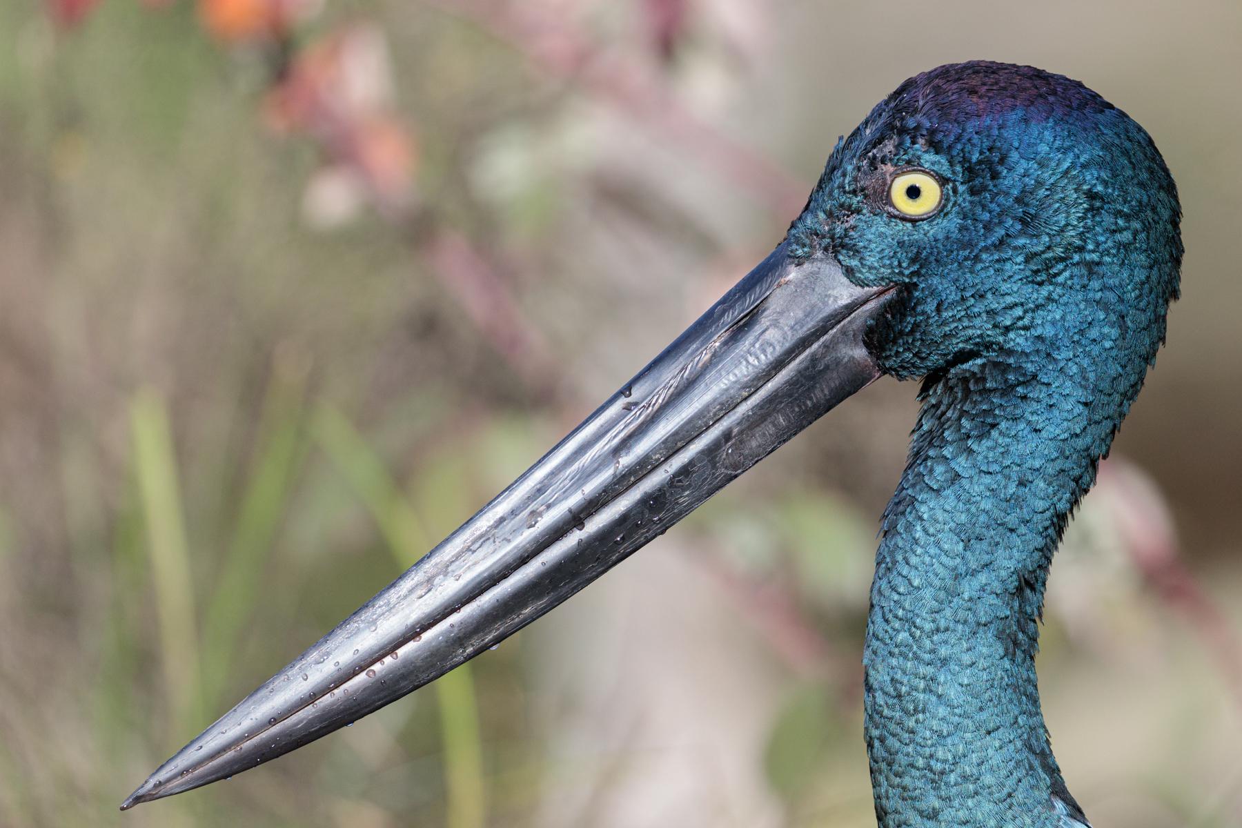 Black-necked Stork (Image ID 41322)