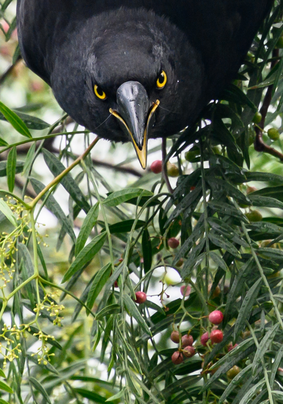 Pied Currawong (Image ID 41543)