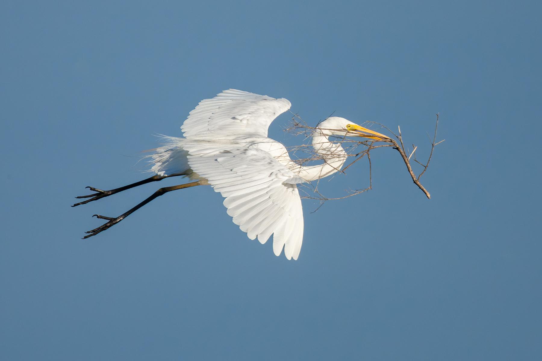 Great Egret (Image ID 41404)