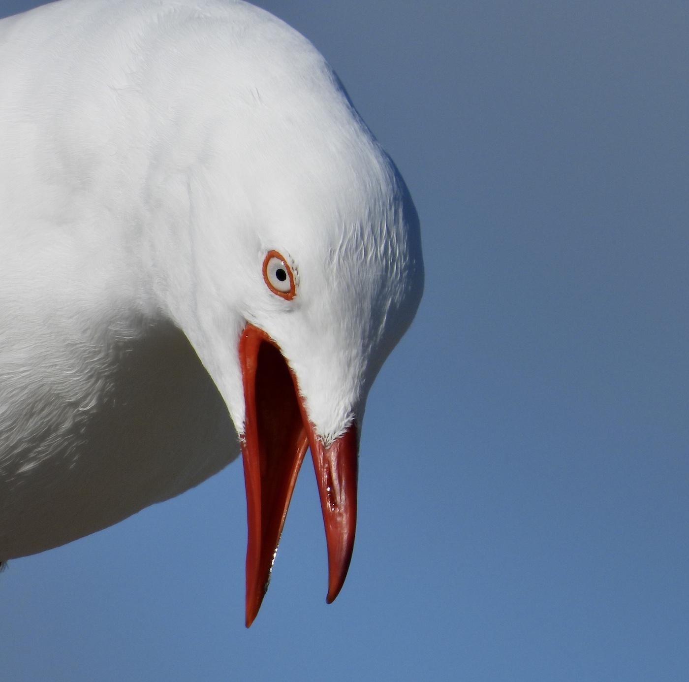 Silver Gull (Image ID 41577)