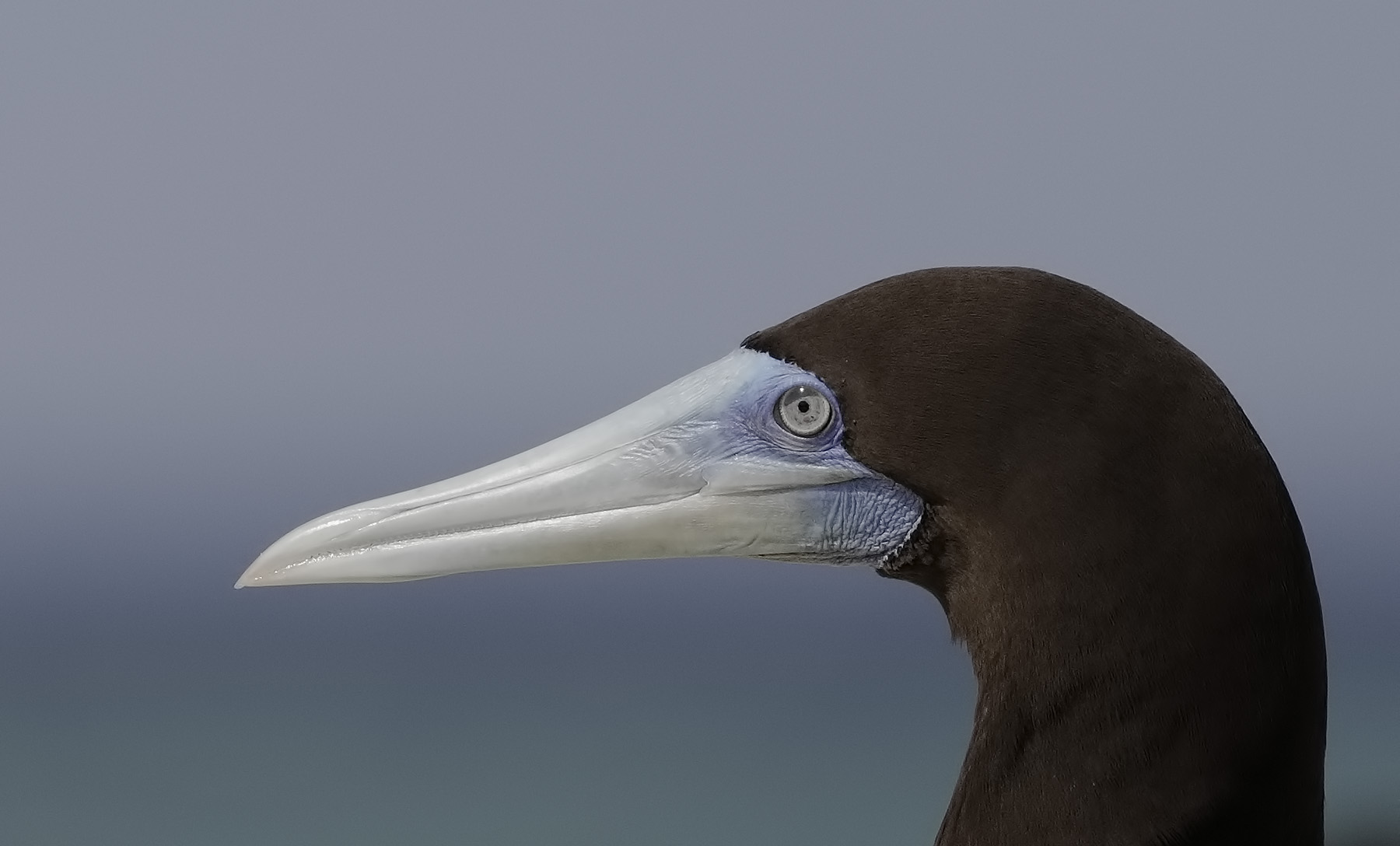 Brown Booby (Image ID 41208)
