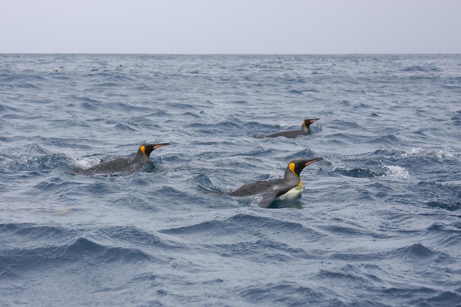 King Penguin (Image ID 41484)