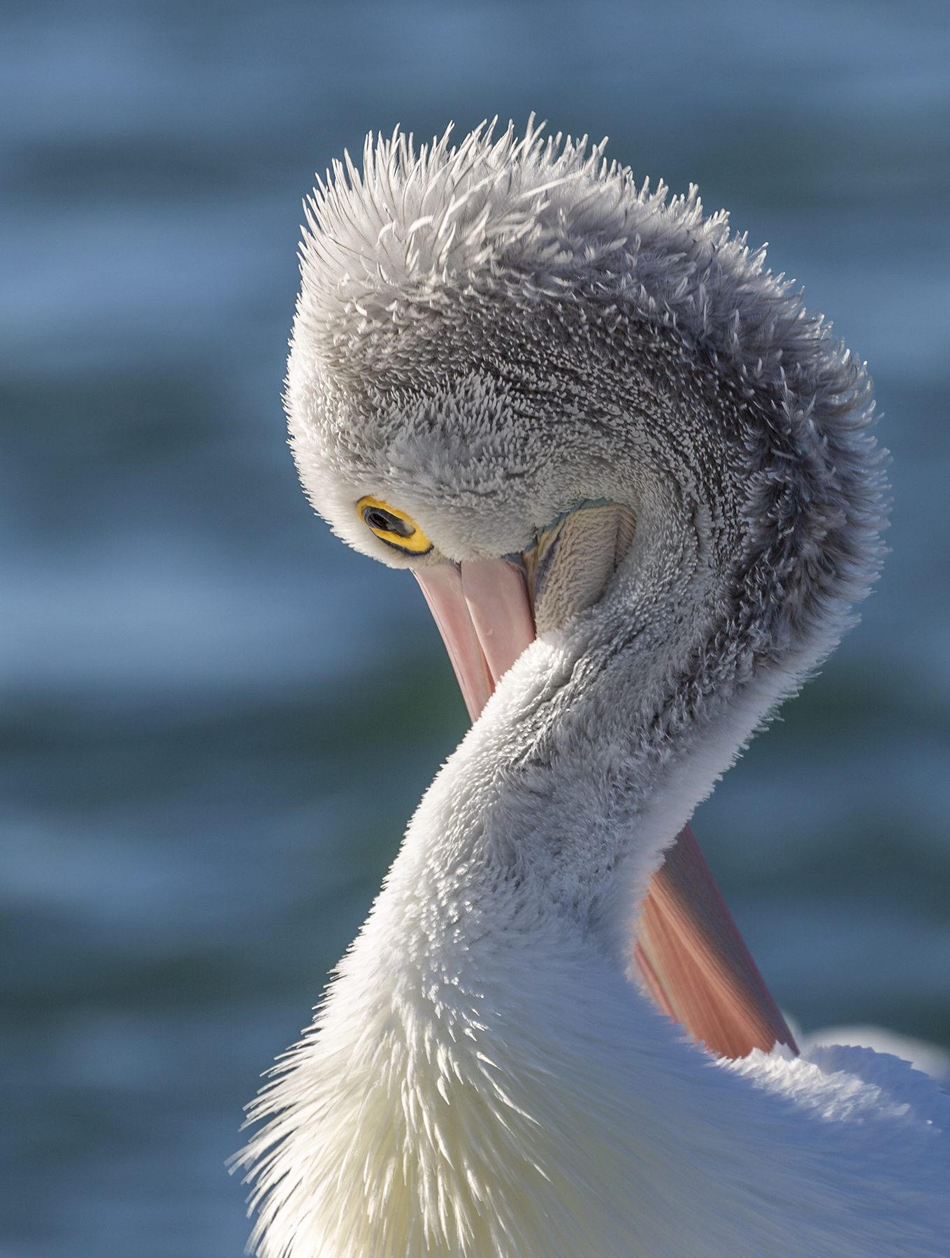 Australian Pelican (Image ID 41419)