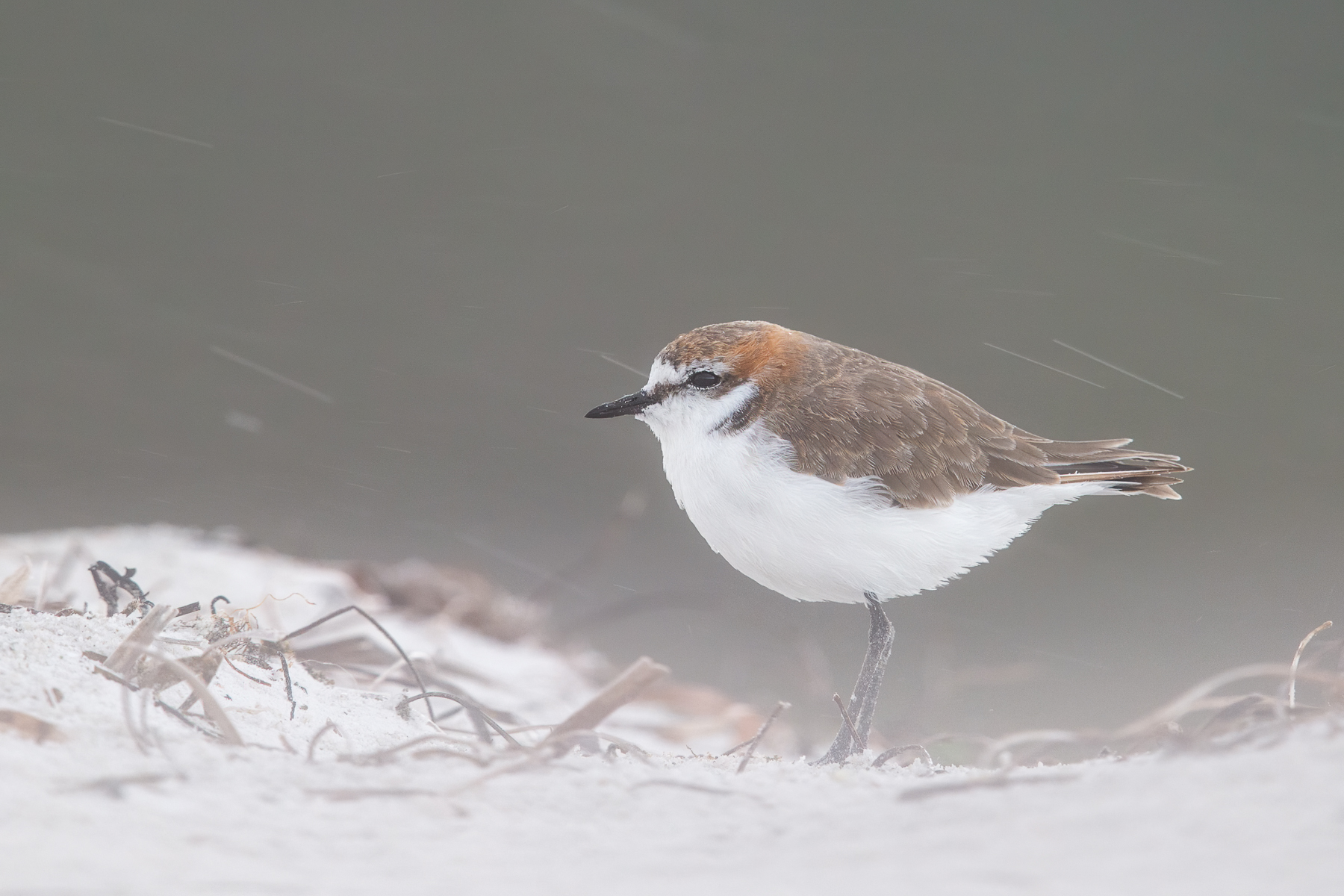 Red-capped Plover (Image ID 41549)
