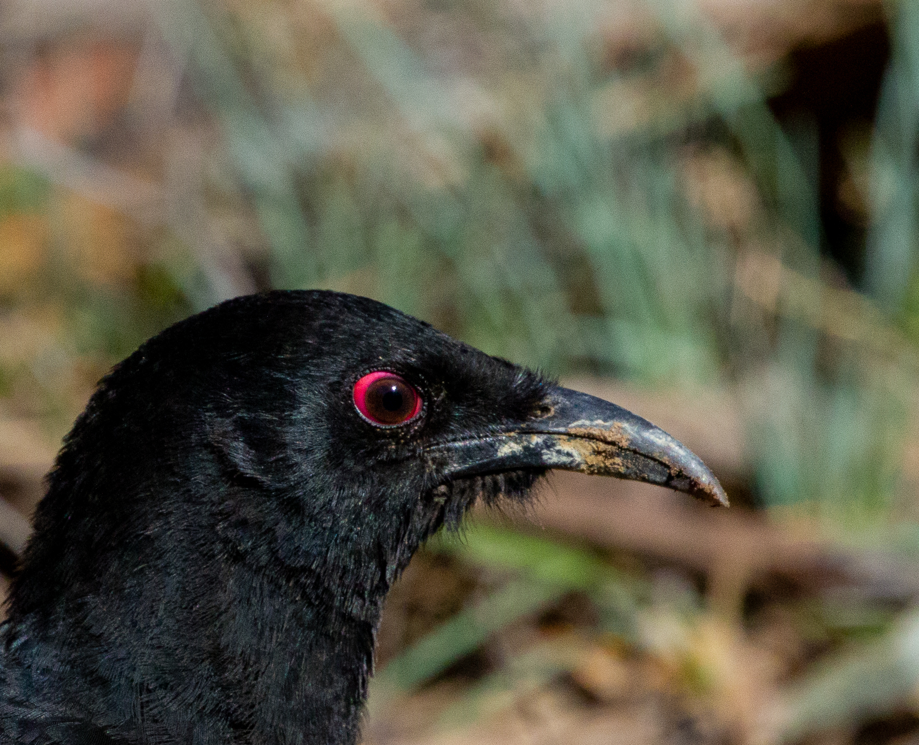 White-winged Chough (Image ID 41371)