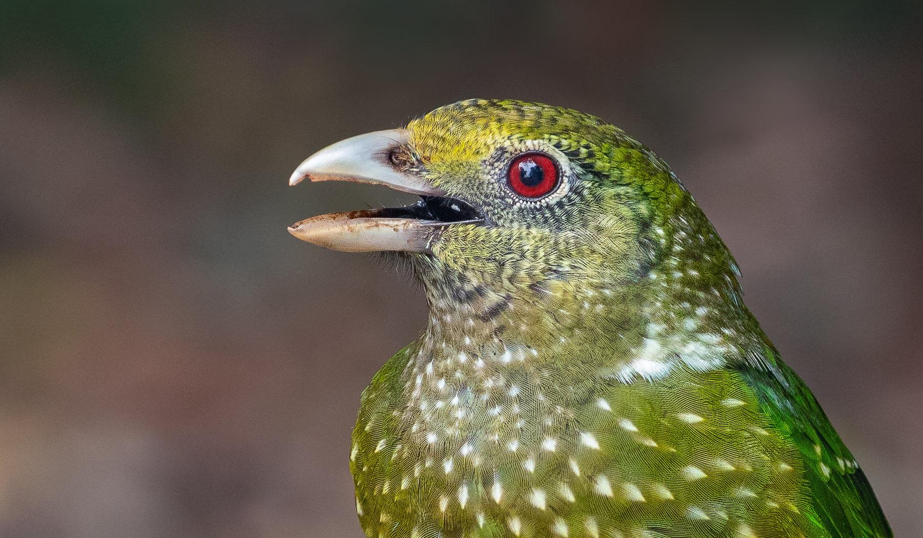 Green Catbird (Image ID 41119)