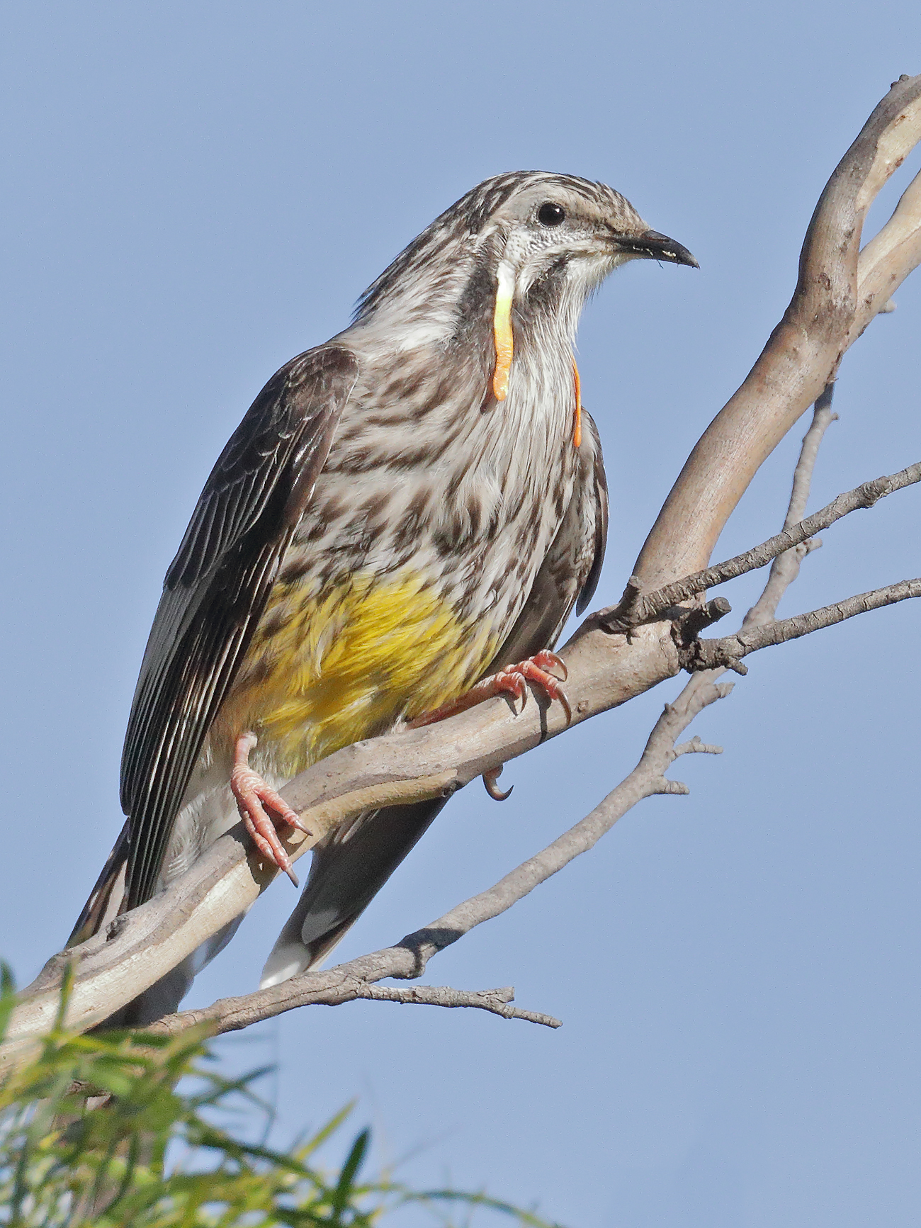 Yellow Wattlebird (Image ID 41294)