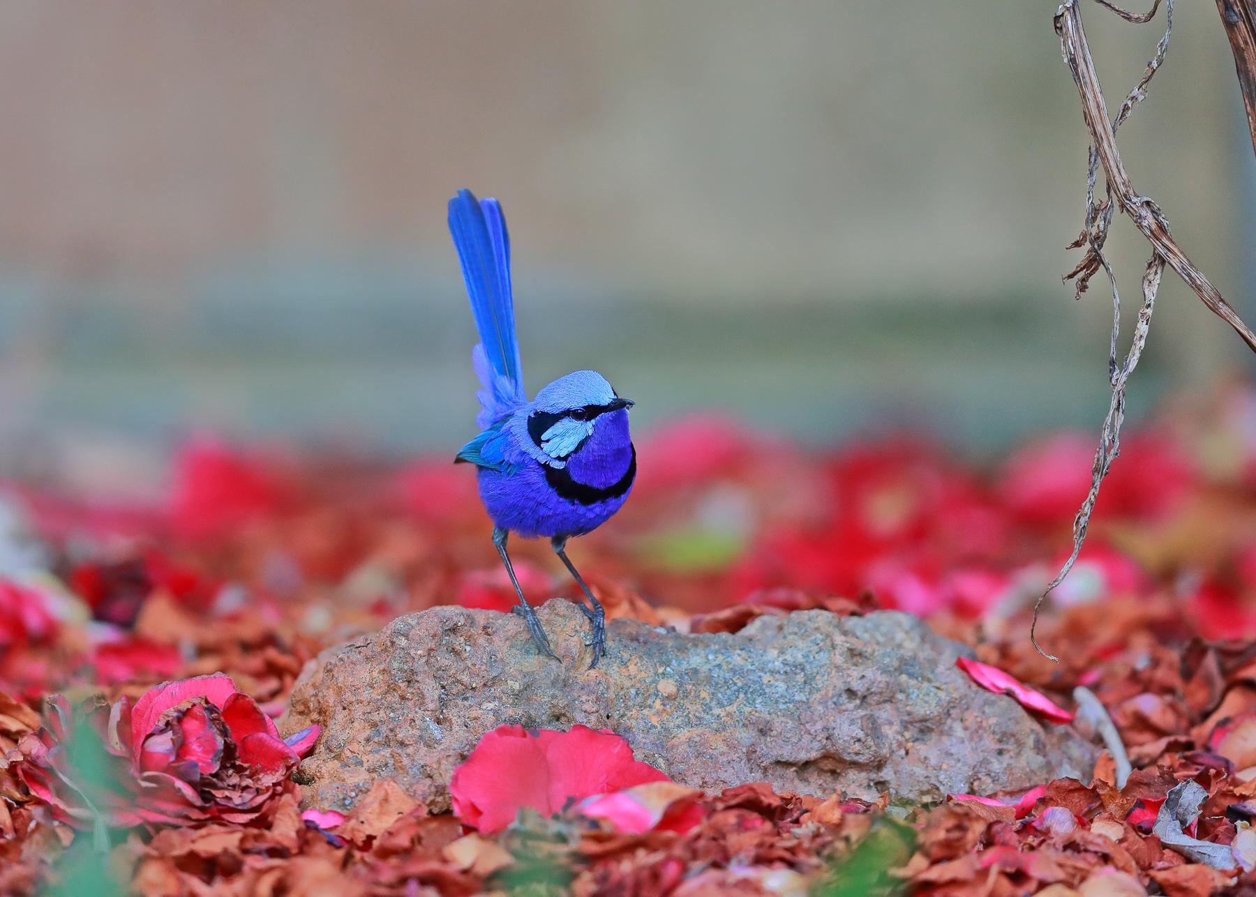 Splendid Fairy-wren (Image ID 41501)