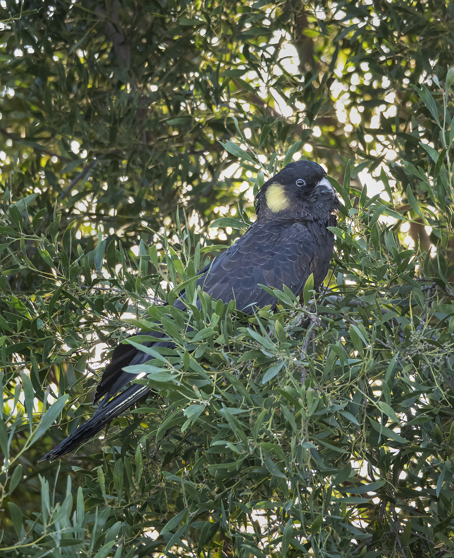 Yellow-tailed Black-Cockatoo (Image ID 41297)