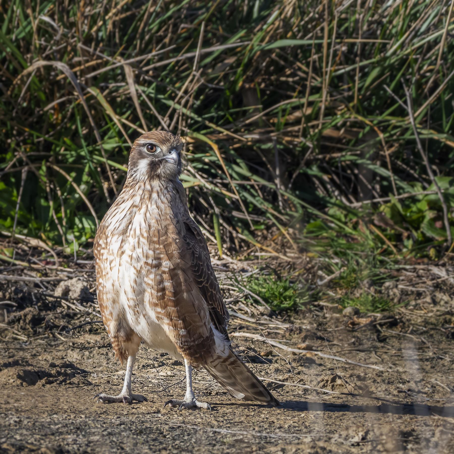 Brown Falcon (Image ID 41306)