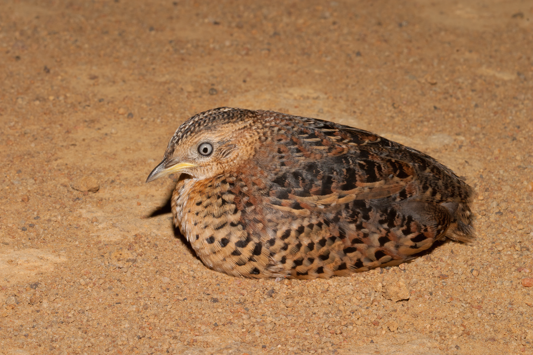 Red-backed Button-quail (Image ID 41147)
