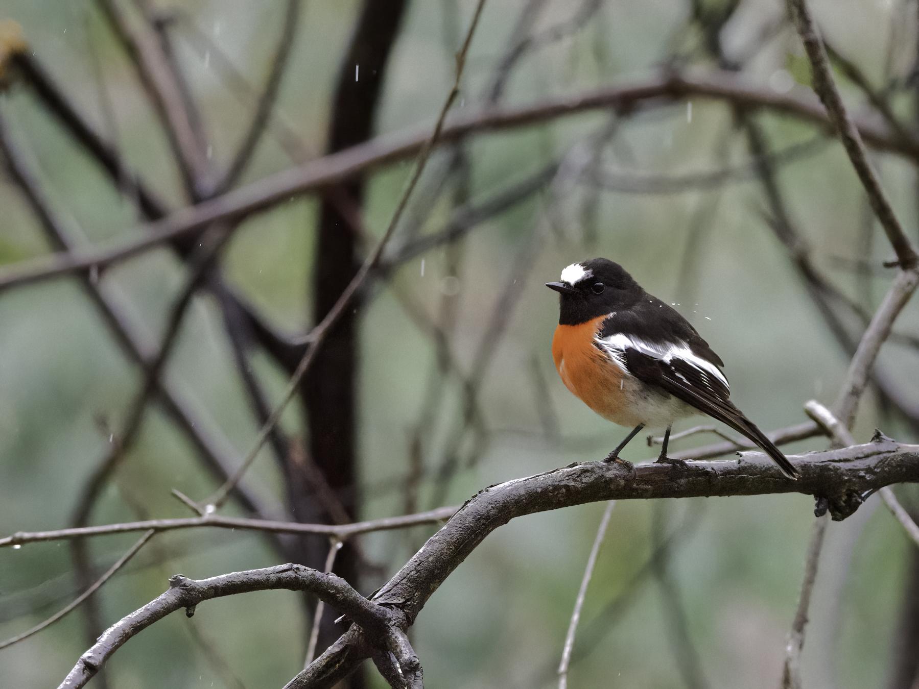 Scarlet Robin (Image ID 41442)