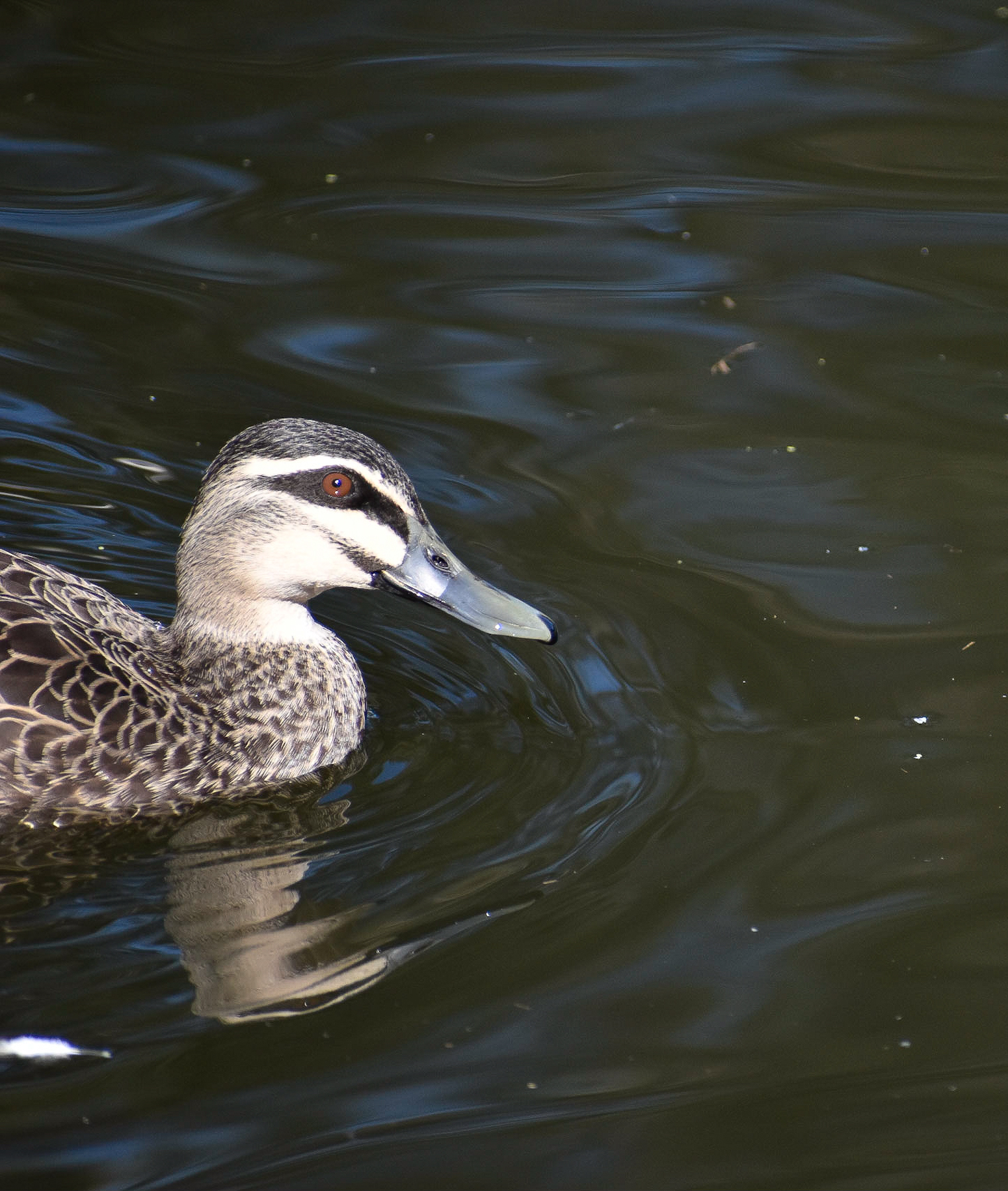 Pacific Black Duck (Image ID 41308)